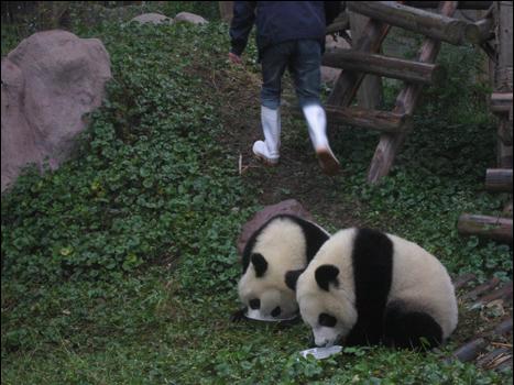 Great Panda Breeding Station
