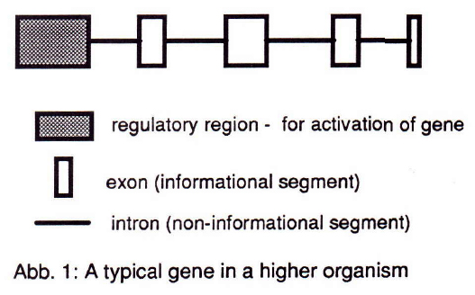 Abb. 1: A typical gene in a higher organism, Dr Stephen Sokoloff, IFSR Newsletter 1993 No. 3 (30) Nov